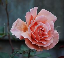 Rose 9 by justbmac