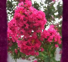 Crape Myrtle Blank P8F0 by Christopher Johnson