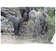 Elephants at Tembe Reserve Poster
