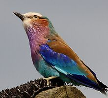 Lilac-breasted roller  by TheaDaams
