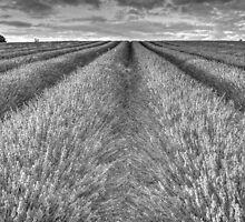 Black And White Lavender by Mark Thompson