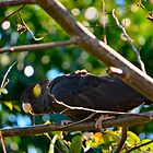 Yellow-Tailed Black Cockatoo by Bami