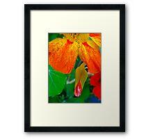 Firey Nasturtium Framed Print