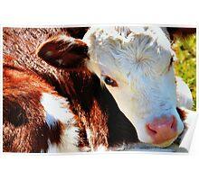Close-up Calf Poster
