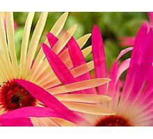 Mesembryanthemums Intertwined Photographic Print
