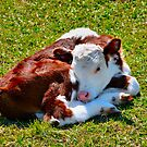 Curled-up Calf by Bami
