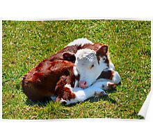 Curled-up Calf Poster