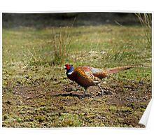 Cock Pheasant Poster