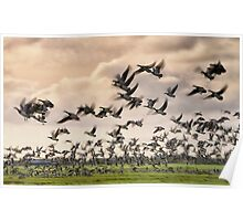 Barnacle Geese in flight Poster