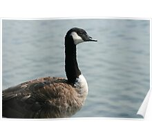 Goose Next To a Lake Poster