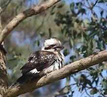 Kookaburra by lezvee