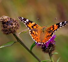 Painted Lady Butterfly : Venessa Cardui Cardui by Ian Alex Blease