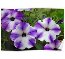 Decorative Petunia in Purple and White Poster