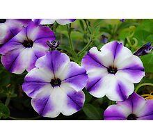 Decorative Petunia in Purple and White Photographic Print