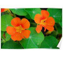 Nasturtiums in Orange Poster