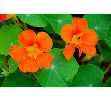 Nasturtiums in Orange Photographic Print