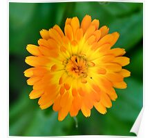 Calendula Perfection in Orange and Yellow Poster