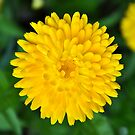 Calendula Perfection in Yellow by Orla Cahill Photography