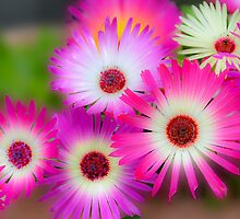 Mesembryanthemums in Neon by Orla Cahill Photography
