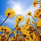 Yellow Flowers in the Sunlight by printscapes