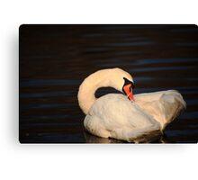 Swan Grooming Canvas Print