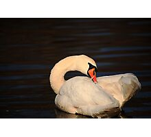 Swan Grooming Photographic Print