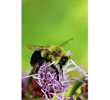 Bumble Fellow Photographic Print