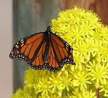 Monarch Butterfly on 'Aeonium' flower head, 'Arilka' Mount Pleasant. by Rita Blom