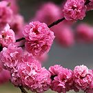 Pink Pom Poms by Joy Watson