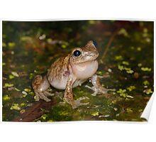 Peron's Tree Frog - Litoria peronii Poster