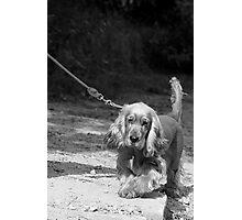 COCKER SPANIEL Photographic Print