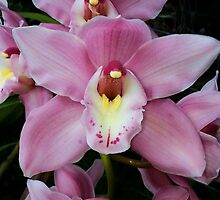 Orchids by Sally Murray