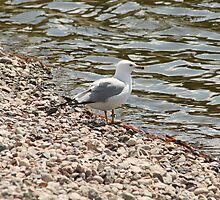 Herring Gull on a Beach by rhamm