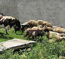 Herding Cows Sheep and Goats by rhamm