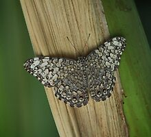 Moth on Bamboo by picsbytabitha