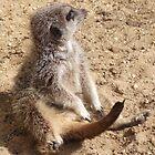 Meerkat by MarkPStevenson