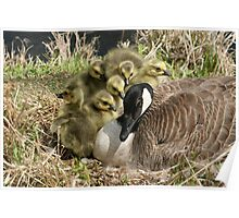 Canada Goose and Six Goslings Poster