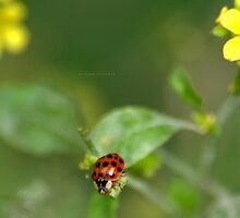 """ Eyed Ladybird Sleeping In The Morning Sun "" by Richard Couchman"