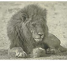 Sleeping lion drawing Photographic Print