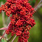 Sumac Berries by lorilee