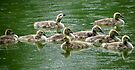 Rainy Day Goslings by Veronica Schultz