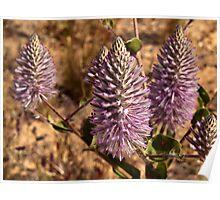 Tall Mulla mulla flowers, Western Australia Poster