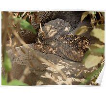 Western Diamond-backed Rattlesnake Poster