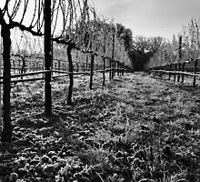 Vineyard Under Ice by LadyEloise