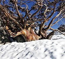 Snow gum, Snowy Mountains, Australia by DBigwood