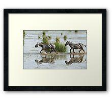 Zebras Cantering Across The Swamp Framed Print