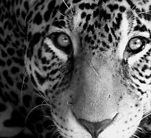 jaguar stare. by AnjiMarth