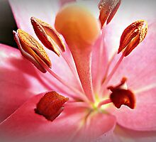 *Asiatic Lily - up close & personal* by EdsMum