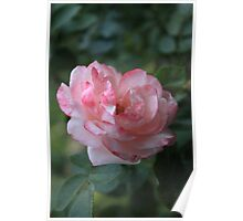 Rose V Poster