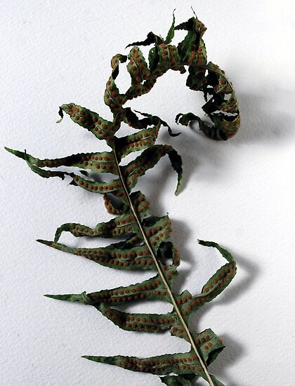withered fern. by AnjiMarth